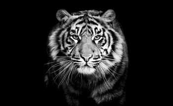Small portrait predator tiger black and white closeup photography