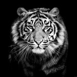 Medium portrait predator tiger black and white closeup photography